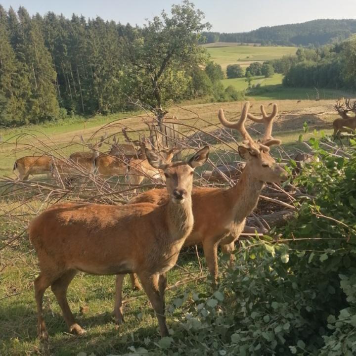 Rotwild Spießer Wildhof Hildegrund